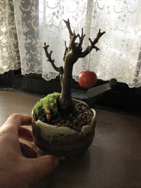 姫りんご  鉢植え  ギフト 盆栽ミニ盆栽