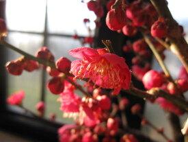 2019年お祝いの贈り物鉢花【盆栽梅】梅盆栽 梅と桜の寄せ植え桜盆栽 香りと花の贈り物2019年花芽付の桜盆栽となります。