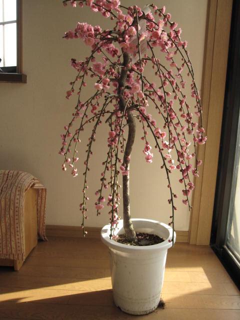 しだれ梅  大   枝垂れ梅はとても豪華です。大苗です。 花が咲いた姿が楽しみなしだれ梅