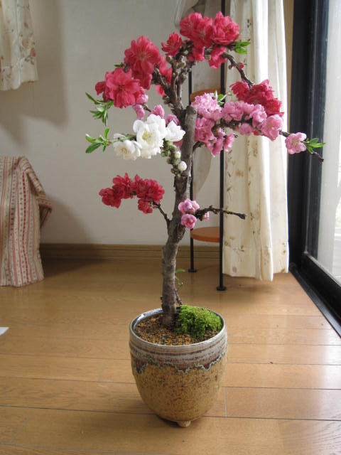 2019年3月末頃〜4月頃に開花しだれ桃お祝いに南京桃しだれ桃縁起の良い桃の木 【鉢植え】 【南京桃しだれ桃 】【桃】二色〜三色桃の花桃は古来より災いを除き、福をもたらすと言われています。そんな縁起木の桃の鉢植え