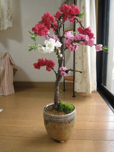 【南京桃しだれ桃 】お祝い桃の節句桃鉢植え2021年4月頃開花の桃・白・赤の2色〜3色 お花が 一本の樹から咲きます。贈り物にも最適信楽焼き鉢入り縁起の良い桃の木 【鉢植え桃】 【花桃