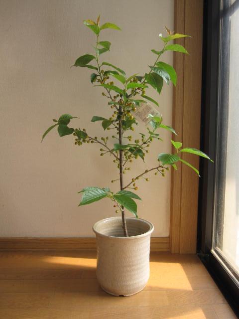 母の日にさくらんぼ 2019年おススメ鉢植 【サクランボ】 サクランボの収穫ができます。 お届けは  5月頃には 実がなります