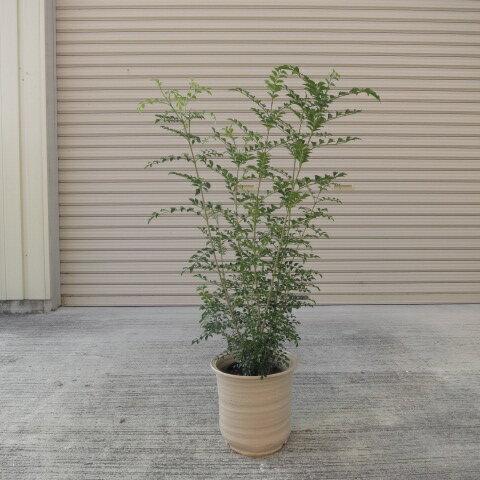 シマトネリコ鉢植え 観葉植物  人気のある鉢植えです