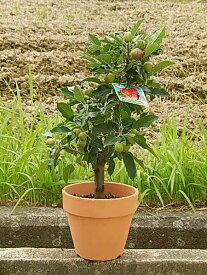 お中元ギフト2019年5月〜11月実付ですクラブアップル姫りんご 小さな可愛らしい実をたくさんつけます秋の日ギフトに 実がついています 鉢植え