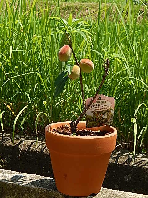 食べれる桃を育てよう桃鉢植え  【桃鉢植え 】【桃】 家庭果樹食べれる桃を育てよう