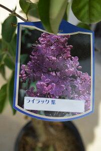 ライラック苗 2021年花芽有庭木 落葉樹 シンボルツリー 花色紫系