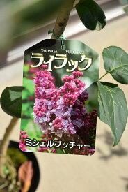 ライラック苗 2021年花芽有庭木 落葉樹 シンボルツリー 花色ピンク系淡紫桃色の八重咲き芳香の強いライラック苗木 ミシェルブッチャーライラック