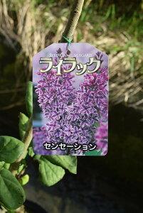 ライラック鉢植え 2021年花芽有庭木 落葉樹 シンボルツリー 花色紫淡紫桃色の八重咲き芳香の強いライラック苗木 センセーションライラック