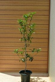 今年に咲くキンモクセイ 金木犀2020年9月〜10月に開花