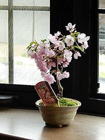 チャレンジ桜盆栽【ミニ盆栽桜】2021年4月開花の桜盆栽となります。【ミニサクラ盆栽】【桜 盆栽】春に桜が咲きます八重桜盆栽ミニボンサイでぷちお花見一才桜 旭山桜盆栽