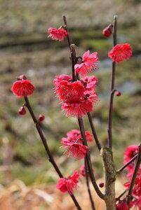 2020年2月開花苗【鹿児島紅梅苗】カゴシマコウバイ 鮮やかな紅色の花 鑑賞 八重咲き 梅苗庭用鉢植え