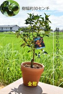 贈り物に2021年1月から2月頃まで実がついています食べれる鉢植えの金年末年始のプレゼントにきんかん果樹実付ですキンカン鉢植え金柑鉢植えミニミカン まるまるキンカン