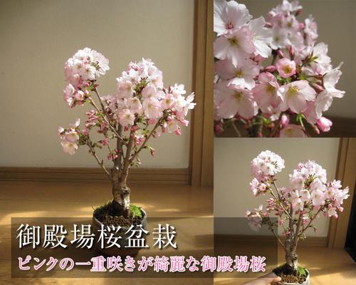 母の日ギフト2018年5月中頃開花桜盆栽【鉢花】御殿場桜盆栽花が咲く春 こんな感じで 開花します。盆栽桜盆栽殿場桜信楽鉢入り 自宅で身近に楽しむ桜盆栽さくら盆栽で お花見ができます桜満開ギフト春に咲く桜盆栽です。自宅でも桜が見れます。