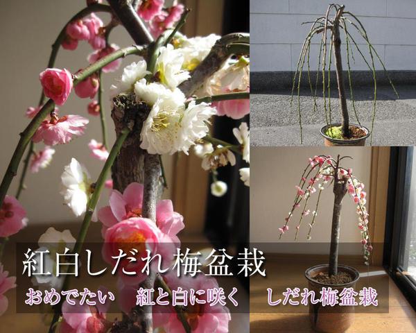 2018年3月頃に開花の紅白しだれ梅盆栽:しだれ梅枝垂れ梅 梅盆栽しだれ梅盆栽: 紅白しだれ梅盆栽梅盆栽 春先に綺麗な紅白の花を咲かせます。開花時期は3月頃です