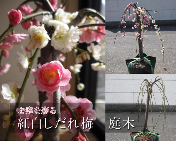 2019年3月頃に開花おめでたい梅 紅白しだれ梅 おめでたい 苗梅のお花が 春先に綺麗な紅白の花を咲かせます。しだれ梅は2019年に開花します