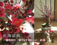 盆栽:紅梅盆栽梅盆栽