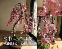 盆栽:しだれ梅梅盆栽盆栽:しだれ梅寄せ植え盆栽八重しだれ梅2013年に開花します。ピンク色の八重咲がかわいい人気のしだれ梅信楽鉢入り