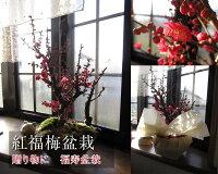 梅盆栽【盆栽】信楽焼き入り福梅盆栽