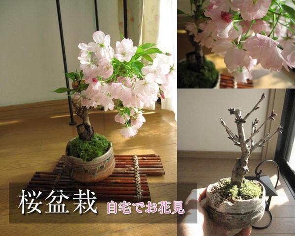 【桜 盆栽】2018年4月中頃に開花の盆栽桜お花見信楽桜盆栽 こんな感じで 咲きます 咲きます 桜が