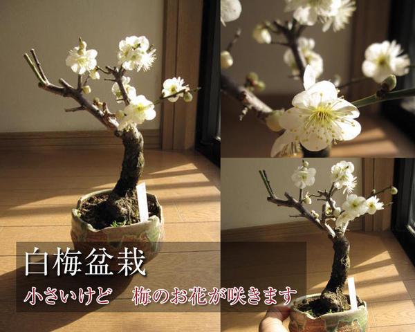 梅盆栽 【盆栽】信楽焼き入り白梅盆栽(一重白梅)ミニ梅の盆栽2018年2月頃開花花芽有り