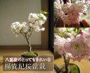八重咲桜盆栽信楽鉢桜