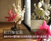梅盆栽お祝いのプレゼントにも最適紅白梅梅盆栽【盆栽】信楽焼き入り紅白梅盆栽ちなみに海外でもBONSAIボンサイと言います。紅白梅盆栽