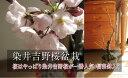 ソメイヨシノ桜盆栽染井吉野桜盆栽2018年開花の染井吉野桜です。【信楽鉢】 【桜】 日本の名花 染井吉野桜 珍しい染井吉野桜です。