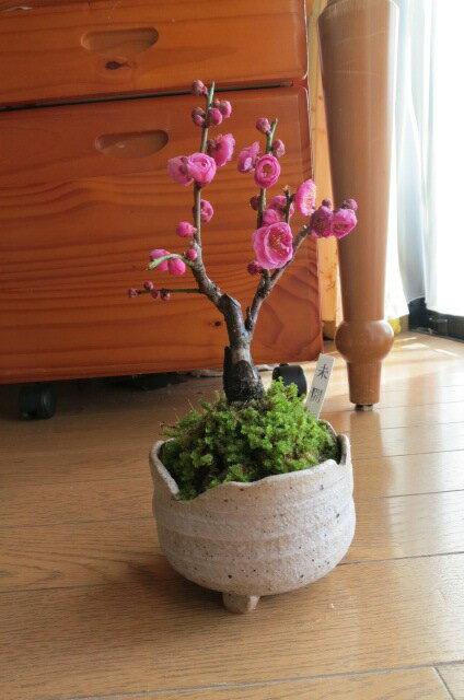 2018年2月頃開花梅 盆栽紅梅紅梅盆栽ミニ梅の盆栽
