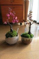 紅梅盆栽と白梅のおめでたい紅白梅セット2013年開花します。香りと花の贈り物梅盆栽【盆栽】信楽焼き入り紅梅白梅セット