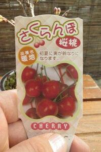 2021年3月頃開花ミニサクランボ盆栽さくらんぼ 5月頃には実がなります【サクランボ盆栽】 ミニサクランボ