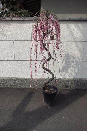 しだれ梅  枝垂れ梅当店おススメ しだれ梅 特大 自宅で綺麗なしだれ梅が こちらの梅ですぐに 見れます。   枝垂れ梅 シダレ梅 庭木  花芽が 300芽以上あります