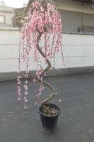 しだれ梅枝垂れ梅当店おススメしだれ梅特大自宅で綺麗なしだれ梅がこちらの梅ですぐに見れます。枝垂れ梅シダレ梅庭木花芽が300芽以上あります