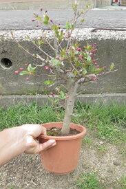 盆栽向き 花海棠桜ハナカイドウ桜 ポット苗 鉢植えサイズ 2018年4月頃開花