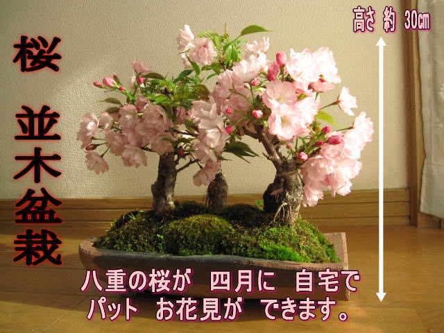 2018年4月に開花【桜盆栽】サクラ盆栽こんな感じに八重のサクラのお花が咲きます 桜並木鉢花桜並木桜盆栽お祝い桜盆栽信楽鉢入り宴さくら盆栽