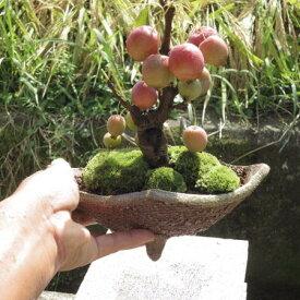 姫りんご姫りんご  鉢植え  ギフト 盆栽チョコボールの位の実がなります。