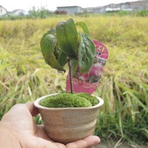 ハナミズキアカ花水木 【ハナミズキ 鉢植え】 2021年4月に開花予定 鉢植え 高さ15センチの かわいいサイズです。