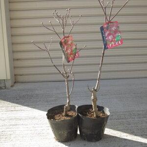 アメリカハナミズキ苗 2本鉢植え向け 苗  花ナミズキアカ花 ハナミズキ  2本  ハナミズキレッドジャイアント