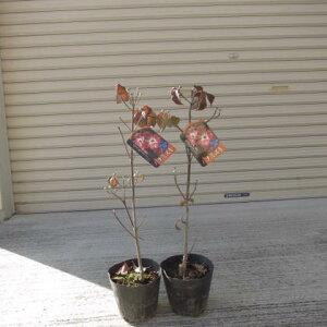2021年4月頃開花ハナミズキ苗 2本鉢植え向け 苗 花ナミズキピンク花  2本  ハナミズキジュニアミス