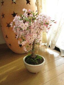 桜盆栽:御殿場桜桜満開ギフト信楽鉢入り2014年春にお花見しよう