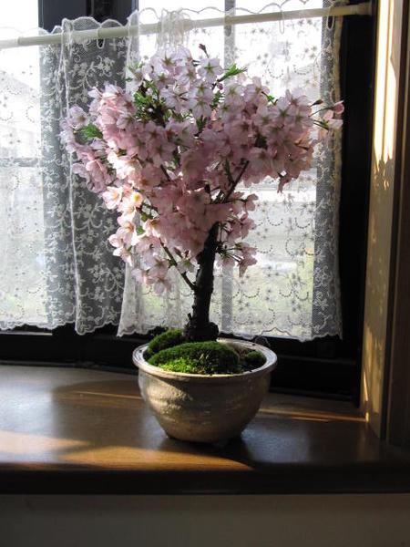 2018年4月に開花盆栽【桜盆栽】ミニ桜盆栽桜盆栽で自宅でお花見桜の盆栽ミニ盆栽御殿場桜盆栽【桜盆栽でさくらのお花見】ぼんさい 一重のピンクが かわいいです。【さくら】