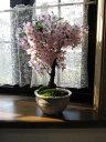 父の日ギフト桜盆栽育てて2020年5月に開花桜盆栽で自宅でお花見桜の盆栽ミニ盆栽御殿場桜盆栽お誕生日のお祝い鉢花と…