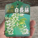 白長藤【白藤苗】 白色の藤のお花 2021年開花予定の苗