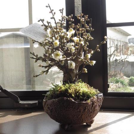 梅盆栽 【白梅盆栽】梅のお花からは いい香りがします信楽焼き入り盆栽梅