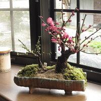 梅盆栽紅白寄せ植え梅盆栽【梅盆栽】信楽焼き入り2014年紅白梅盆栽