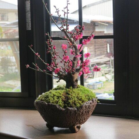 春お祝い紅梅盆栽2019年3月頃開花梅盆栽】梅のお花からはいい香りがします信楽焼き入り盆栽梅