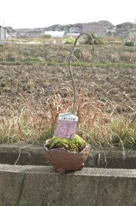 しだれ桜盆栽【八重しだれ桜】しだれ桜盆栽