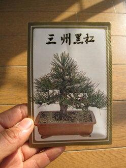 盆景子三河黑松林盆景種子