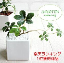 ミニシサスアイビープラント シュガーバイン 観葉植物 造花 インテリア フェイクグリーン