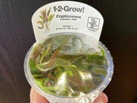 【組織培養水草】トロピカ1-2-Grow! クリプトウンデュラータスレッド