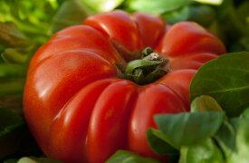 【野菜の種】イタリアントマト種 20粒 育て方の説明書付き ガーデン ガーデニング 野菜の種 野菜 家庭菜園 トマト 農業 サラダ 春蒔き とまと イタリアン インスタ 鮮やか レアシード 美味しい Tomato  変わった